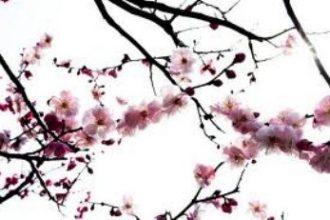 Fleurs de cerisier images